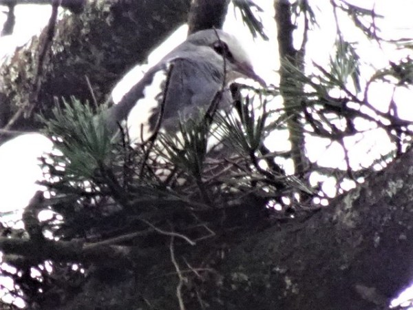 Sitting patiently on the nest.