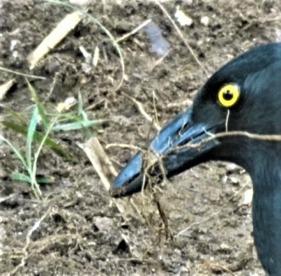 Perfect nest lining material for a currawong.