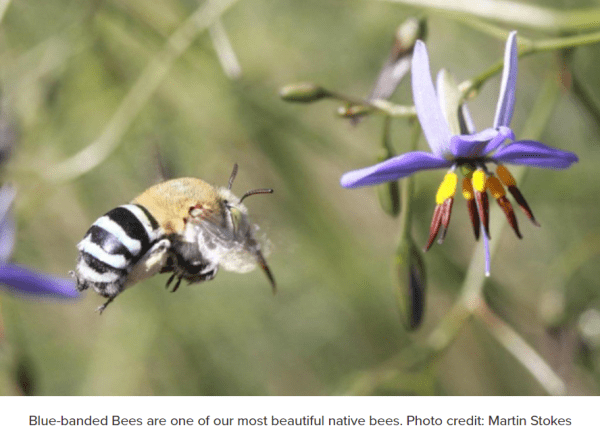 Native blue banded bees are attracted to dianella flowers.