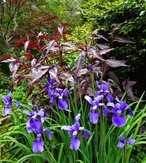 Persicaria as a backdrop to Siberian iris,