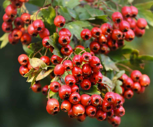 Bright red hawthorn berries.