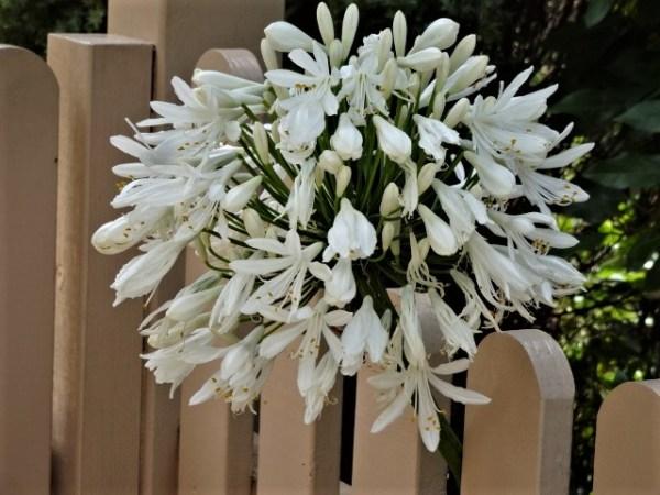 White agapanthus in full bloom.