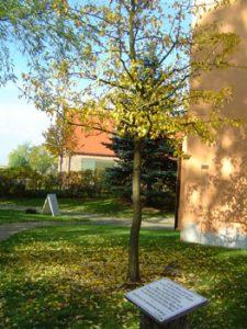 Der legendäre Birnbaum musste nachgepflanzt werden. In der Kirche aber kann man noch einen Teil des ursprünglichen Baumes sehen.