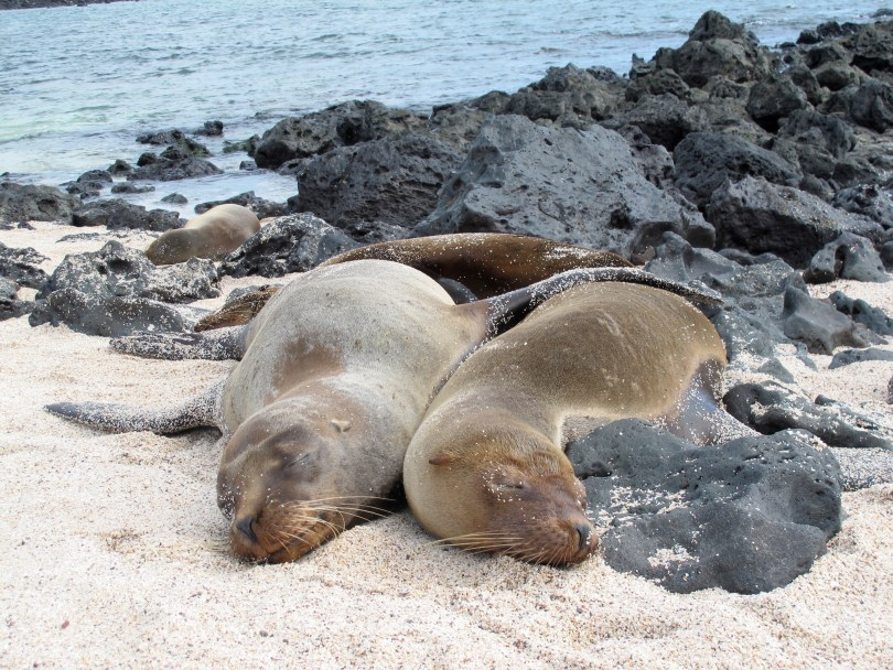 Sea Lions in San Cristobal - The Galapagos Island