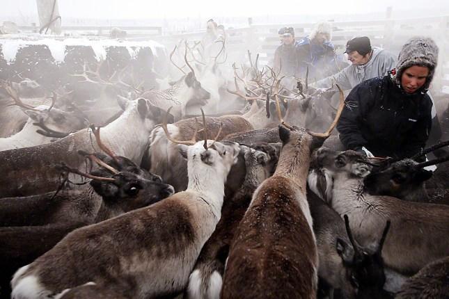 D Sami Reindeer 12