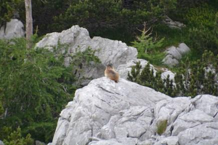Marmot, Triglavski National Park