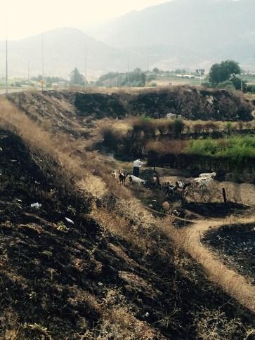 Goat herder in burn fields, Macedonia