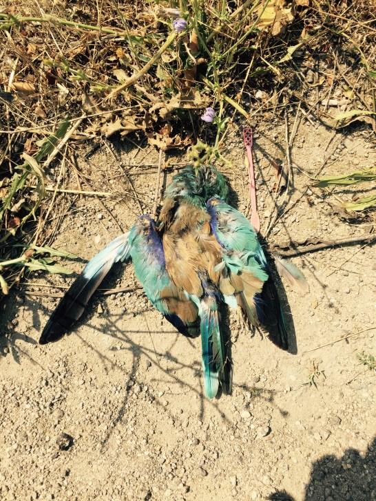 Colourful dead pidgin, Bulgaria