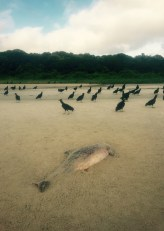 Dead dolphin and vultures on beach near Superagui, Brazil