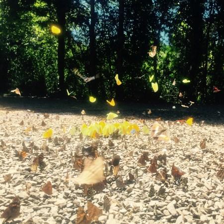 Butterflies of Iguazu, Argentina