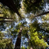 Redwoods at Muir Woods, California, landscapes and nature photographer photography herefordshire 5328