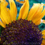Sunflower, landscapes and nature photographer photography herefordshire 0517