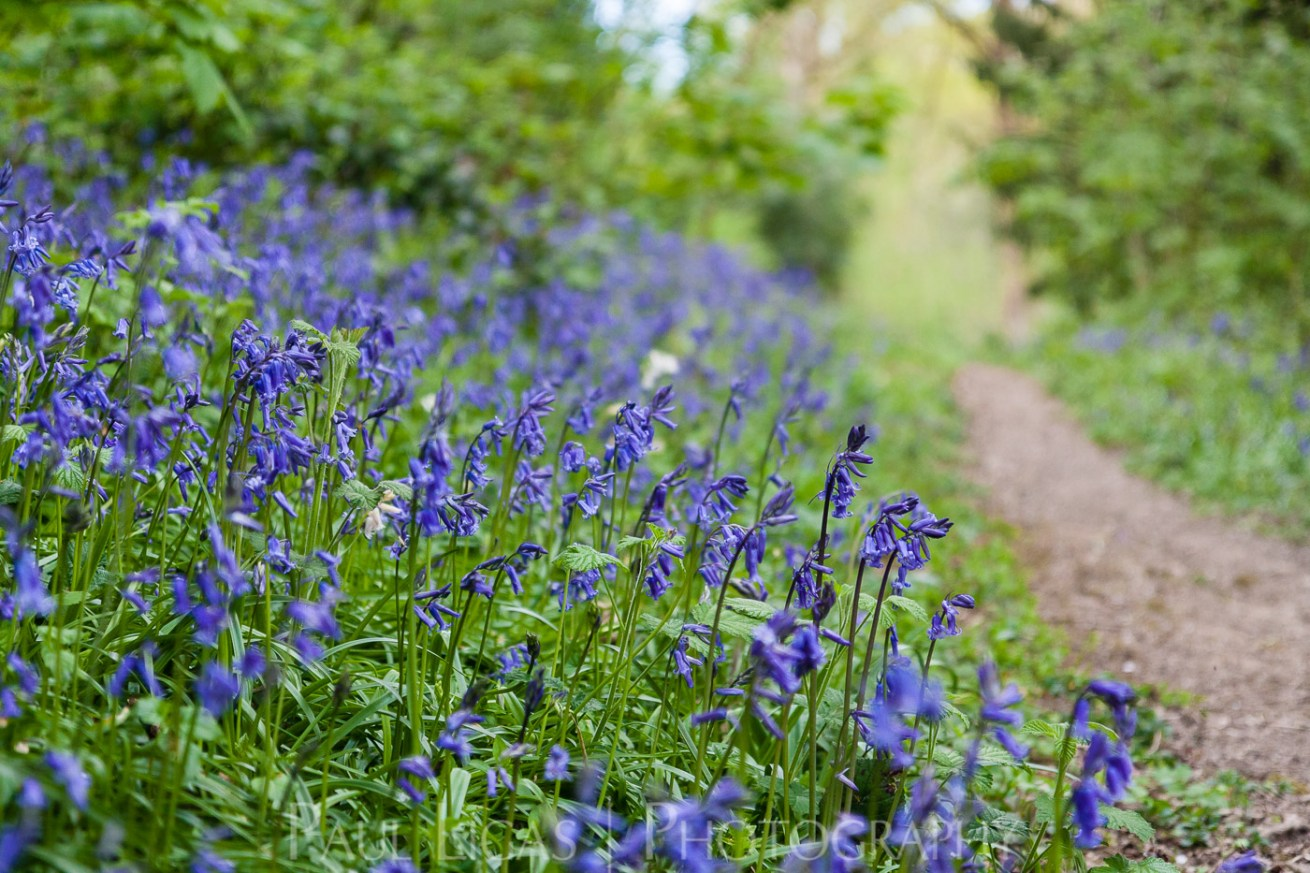 Bluebells in Dog Hill Wood, Ledbury, Herefordshire nature photographer photography landscape 7054