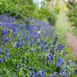 Bluebells in Dog Hill Wood, Ledbury, Herefordshire nature photographer photography landscape 7054