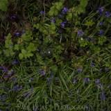 Bluebells in Dog Hill Wood, Ledbury, Herefordshire nature photographer photography landscape 7058