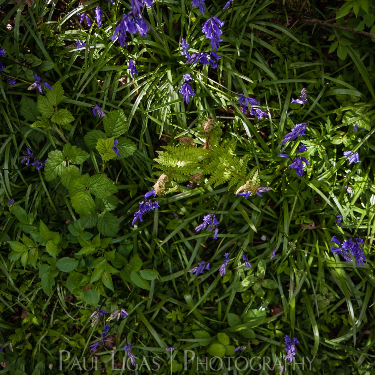 Bluebells in Dog Hill Wood, Ledbury, Herefordshire nature photographer photography landscape 7065