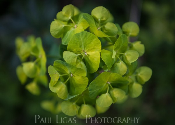 Euphorbia in Dog Hill Wood, Ledbury, Herefordshire nature photographer photography landscape