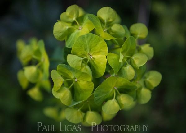 Euphorbia in Dog Hill Wood, Ledbury, Herefordshire nature photographer photography landscape