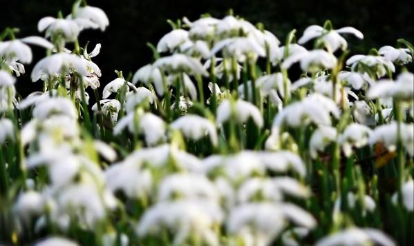 paul ligas photography print spring snowdrops