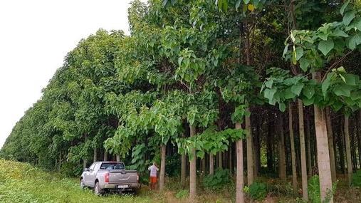Создание плантаций древесины павловнии