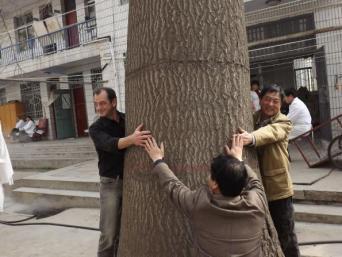 взрослое дерево павловния