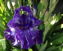 Batik--German bearded iris