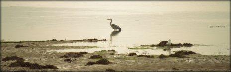 Still Heron