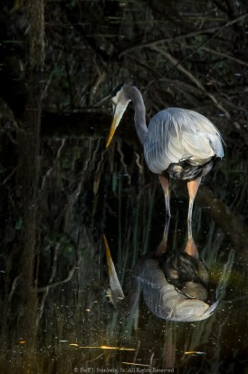 Blue Heron - Circle B Bar Reserve