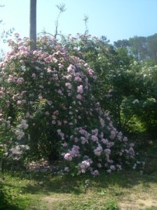 Large rose plants left alone over time mound up into cascades of blooms.