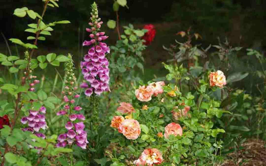 Funny Farm Rose Garden April 2017