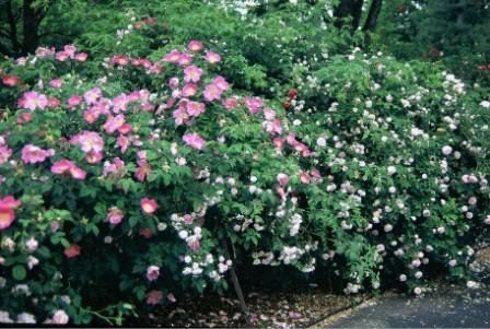 A wall of shrub roses is a stunning sight.