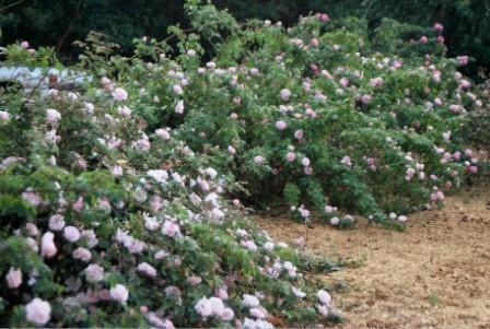 Arching shrub roses left unpruned drape the garden.