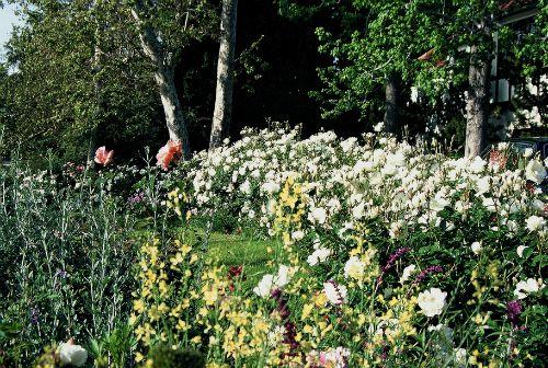 A hedge of white roses for season long interest.