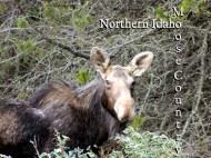 Moose in Idaho
