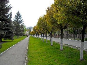 Клены на ул. Козлова в Пятигорске