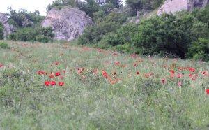 Маковоя поляна на Бештау