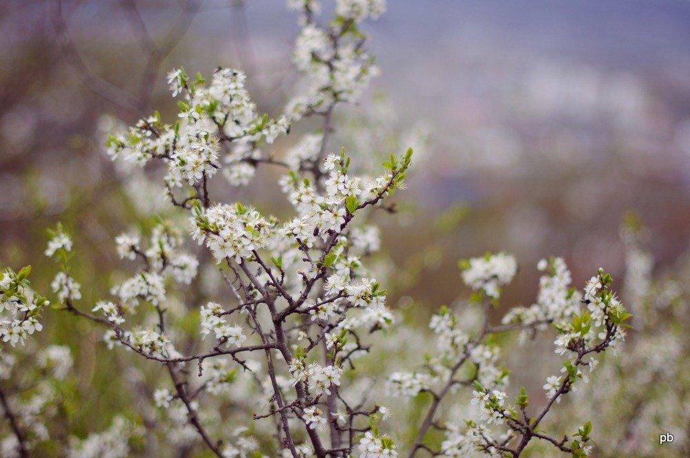 Цветёт Тёрен