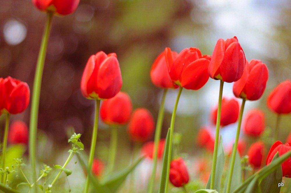 Тюльпаны на городской клумбе