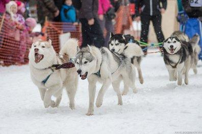 Фотографии бегущих собак - сестрорецкий спринт