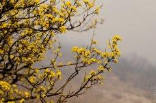 Цветы кизила