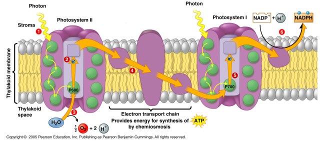 fotosistem II i fotosistem II