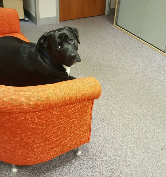 Sal @PinkyBlonde_ Jan 18 Aww... Office dog sits nonchalantly on sofa hoping he won't be disturbed... 😁
