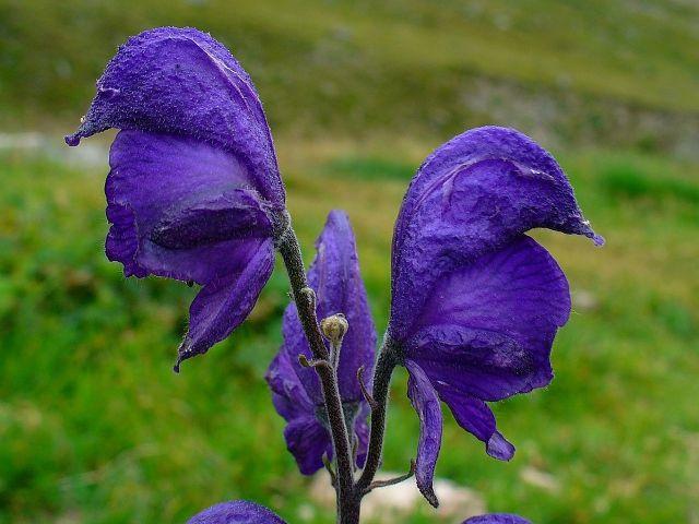 Modri jedić (Aconitum napellus) sadrži alkaloid akonitin, višestruko otrovniji od cijanida