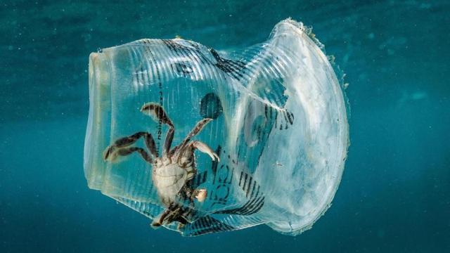 Kraba zarobljena u plastičnoj čaši (moreuz Verde - zaliv Batanga, Filipini