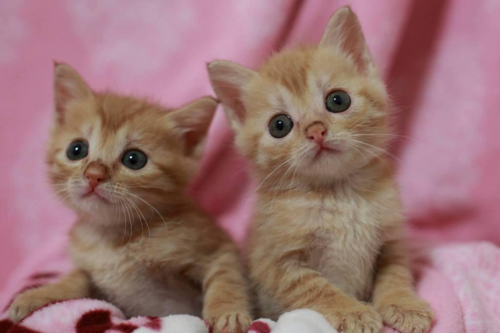 十二夜認養橘貓奶貓幼貓