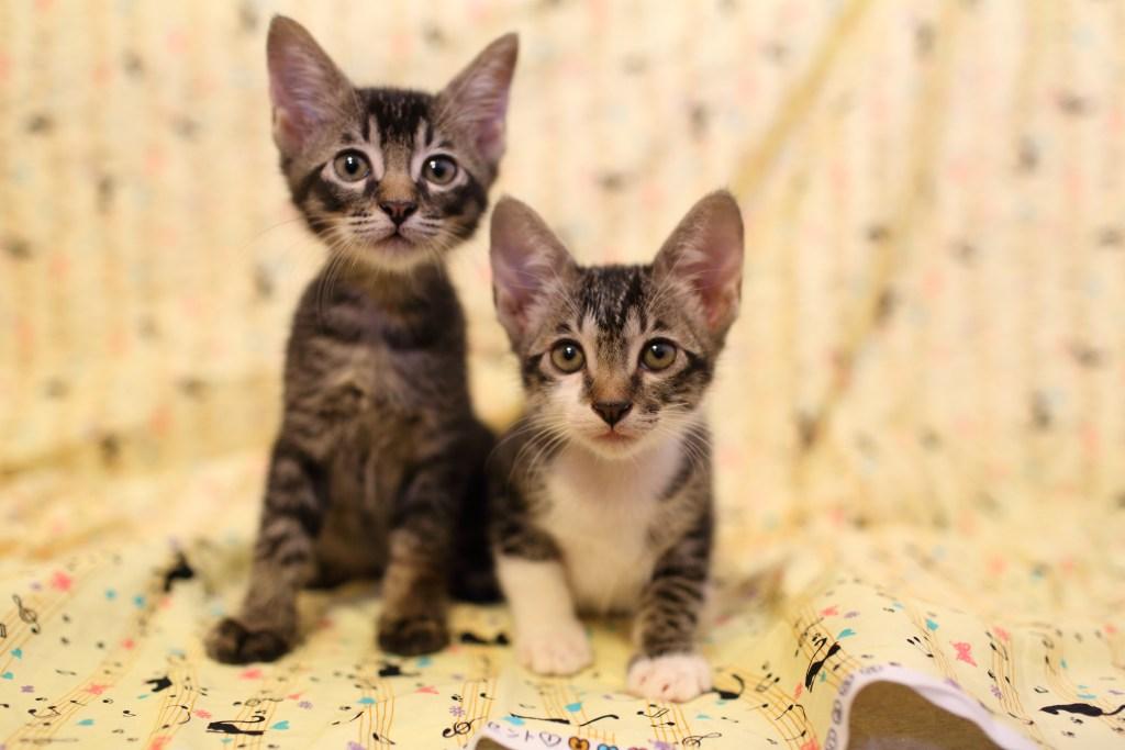 十二夜貓咪幼貓認養三花貓虎斑兄妹