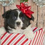 Holiday Puppy Present Preparation Pawderosa Ranch