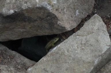 jaszczurka zwinka kryjąca się między skałami w lipowcu w beskidzie niskim