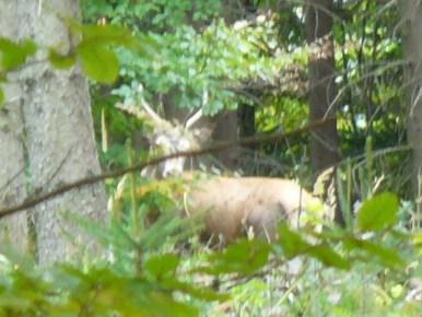 jeleń chroniący się w leśnych ostępach beskidu makowskiego
