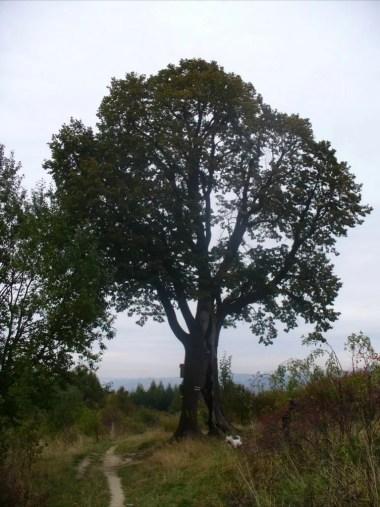 słynna myślenicka lipka, widok sprzed wycięcia drzewa